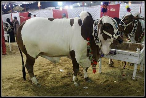 OLX Karachi Animals Cows | Mungfali