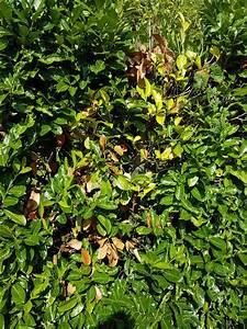 Kirschlorbeer Braune Blätter : beim kirschlorbeer gelbe bl tter hier ist die l sung ~ Lizthompson.info Haus und Dekorationen