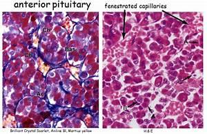 Endocrine System Histology At Ohio State University