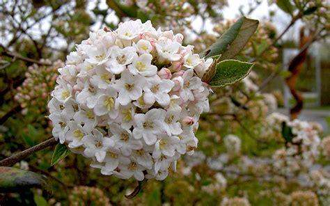 wintergruener schneeball pflanze viburnum burkwoodii