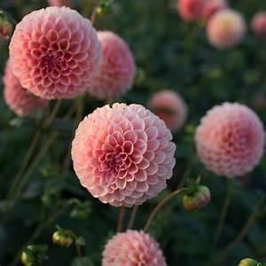 Dahlia Linda's Baby Floret Flowers