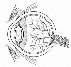 Outline Illustration Of The Human Eye Anatomy