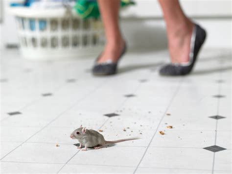 Mouse In Kitchen What To Do by Sorenson Recent Posts Sorenson Pest