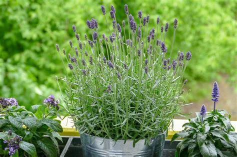 Lavendel Viel Wasser by 5 Bienenfreundliche Pflanzen F 252 R Den Balkon Velanga