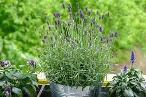 Lavendel Pflanzen Im Topf : 5 bienenfreundliche pflanzen f r den balkon velanga ~ Frokenaadalensverden.com Haus und Dekorationen
