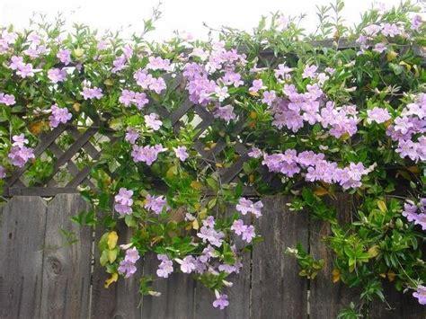 Purple Planter by Plantfiles Pictures Violet Trumpet Vine Painted Trumpet