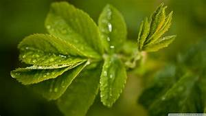 Download Fresh Green Leaves And Water Drops Wallpaper ...