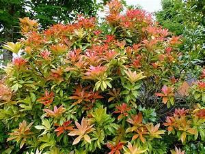 Arbuste À Feuillage Persistant : arbuste decoratif exterieur ~ Melissatoandfro.com Idées de Décoration