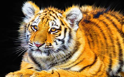 tiger cub wallpapers hd wallpapers id