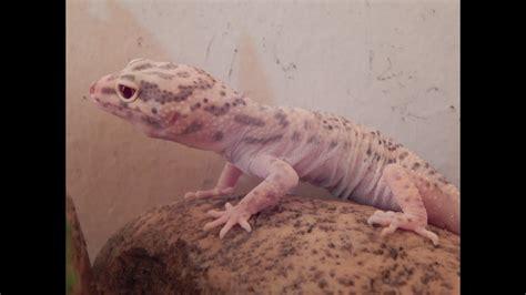 leopard gecko shedding skin leopard gecko shedding process eublepharis macularius