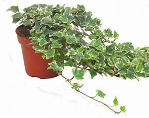 Efeu Als Zimmerpflanze : zimmerpflanze efeu test gartenbau f r jederman ganz einfach august 2018 ~ Indierocktalk.com Haus und Dekorationen