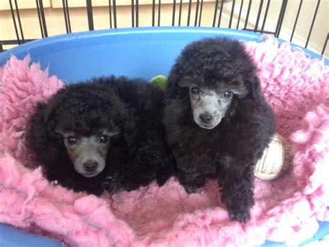 silver toy poodle puppies wallasey merseyside petshomes