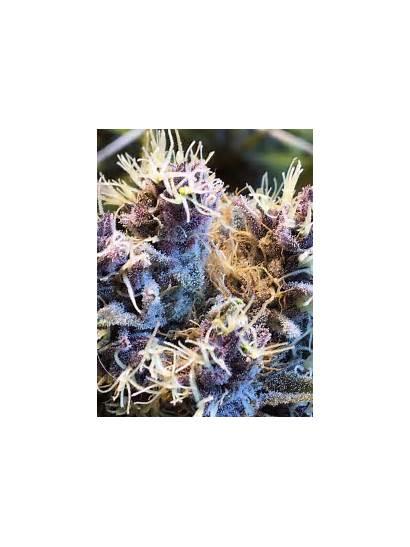 Cannabis Frost Winter Flower Week Grows