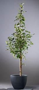 Großen Apfelbaum Kaufen : herbstapfel santana malus santana apfel apfelbaum ~ Lizthompson.info Haus und Dekorationen