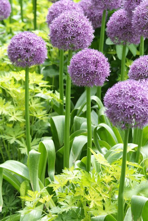 Tips Planting Fall Bulbs by Tips For Planting Fall Bulbs Traditional Home