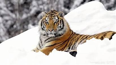 Tiger Wallpapers Winter Wildlife Desktop Snow Animals