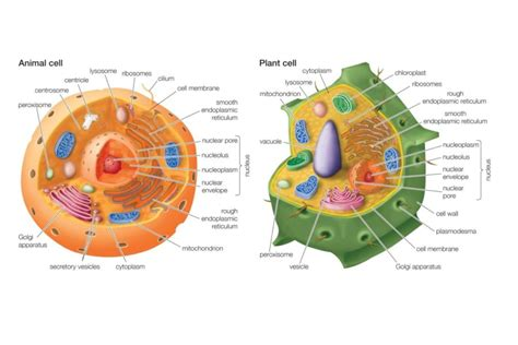 Printable Diagrams Of Animal Cell  Diagram Site