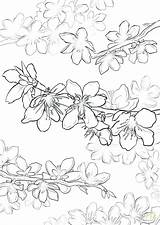 Cherry Blossom Coloring Pages Japanese Tree Printable Getdrawings Getcolorings sketch template