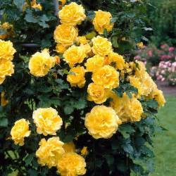 Climbing Rose Ascending Gold  Trained On A Trellis