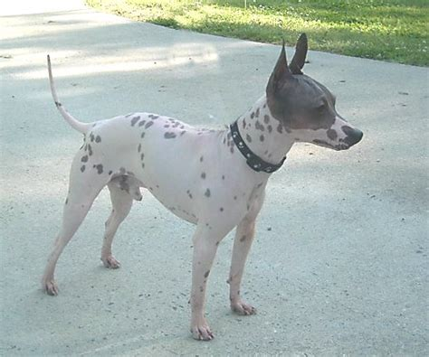 American Hairless Terrier Simple English The