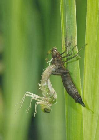 life cycle  biology british dragonfly society