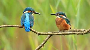 Eight facts about kingfishers - Scottish Wildlife Trust  Kingfisher