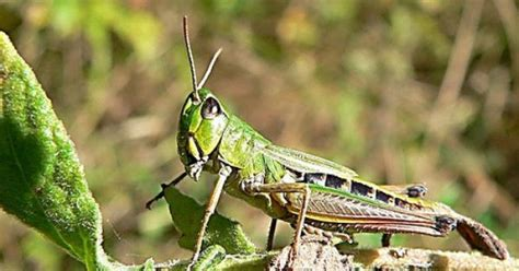 grasshopper facts for gibson s grasshoppers 407   2414383cee57a5643ee232e1bead81f8