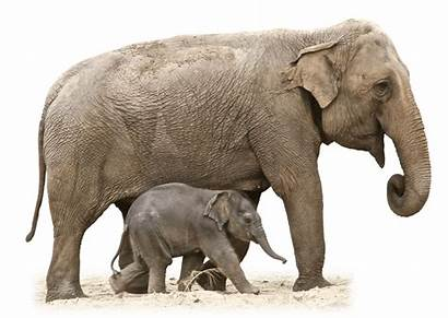 Elephant Clipart Mom Transparent Mother African Circus