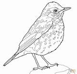 Bird Coloring Thrush Wood Robin Pages Drawing Birds Printable American Supercoloring Colouring Realistic Adult Drawings Sparrow Animals Animal Peregrine Paper sketch template