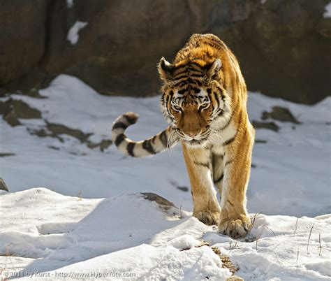 Coming For You Showing Picture Siberian Tiger