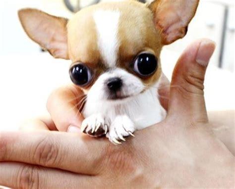 images  tea cup puppies  pinterest