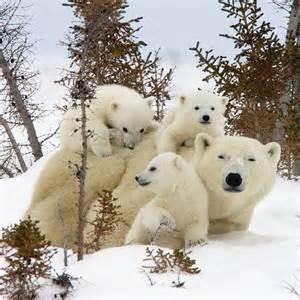 Polar Bear Family Animal