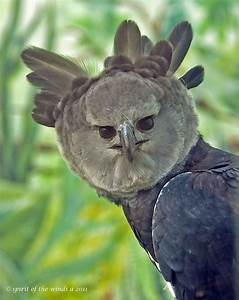 A Stern Look From The Harpy Eagle Flickr Photo Sharing