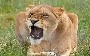 lioness angry - HD Desktop Wallpapers | 4k HD