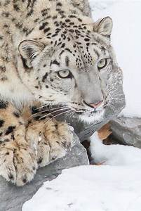 1000+ images about Big Cats - Snow leopard and Cheetah are ...