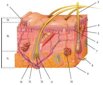 skin layer diagram worksheet integumentary skin