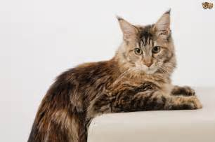 cat breeds the top 8 largest domestic cat breeds pets4homes