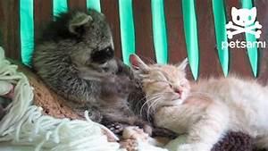 Raccoon thinks a kitten is his teddy bear - YouTube