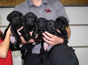 94 best images about lab puppies on Pinterest | Lab ...