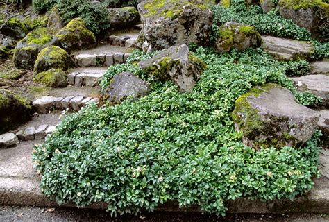 decorating home office on a outdoor garden design charming pachysandra terminalis