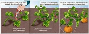 Quand Planter Courgette : fiche pratique tailler les plantes coureuses au potager ~ Dallasstarsshop.com Idées de Décoration