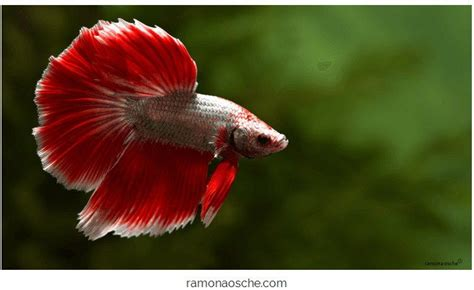 jenis ikan hias kecil akuarium aquascape beserta