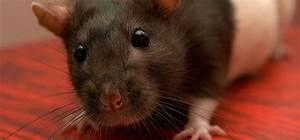Comment Tuer Un Rat : comment se dbarrasser des rats dans une maison free cheap ~ Mglfilm.com Idées de Décoration
