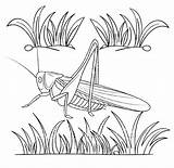 Cricket Coloring Realistic Insect Kid Funny sketch template