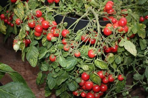 3 stādi Saldā dzērvenīte (rozā krāsā) (tomātu stāds ...