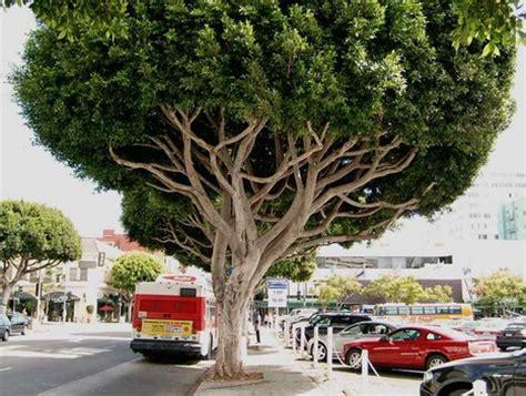 large ficus tree ficus tree 3651