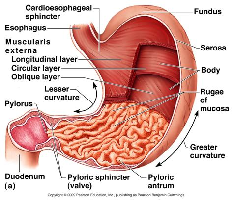 Diagram Of Stomach And by This Link Gives The Path Of Food All The Way Through The