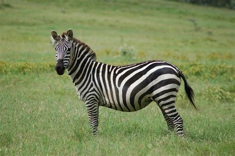 The Zebra  Lovely Animal All Interesting Facts Animals