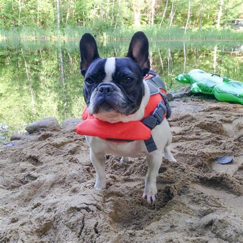 Life Jackets French Bulldog Rescue Network