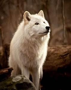 wolf photography tumblr | wolf tumblr | Animals ...